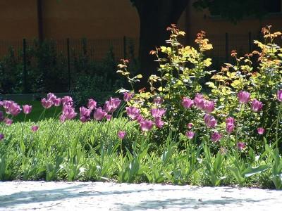 Dettaglio dei Tulipani